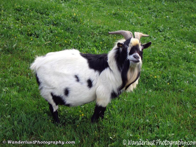 photo of Swiss Goat