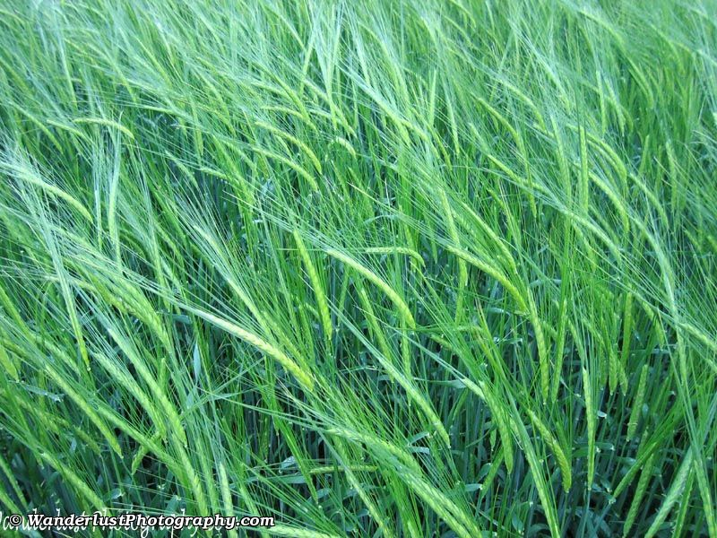 photo of Spring Wheat